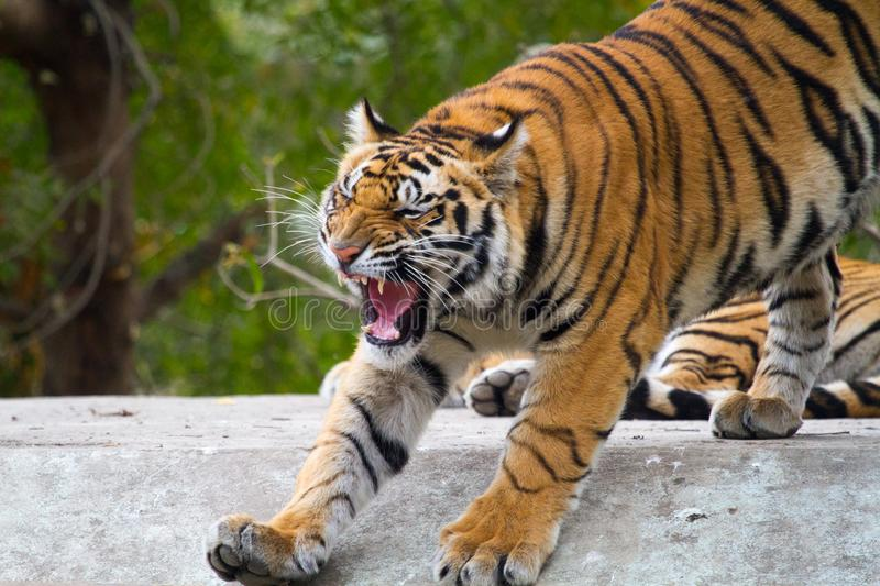 Aggressive male tiger in the jungle. Snarl, whiskers royalty free stock photography