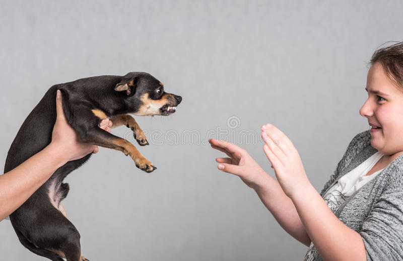 Aggressive Pinscher dog. Small dog aggression concept in house scenery royalty free stock photos