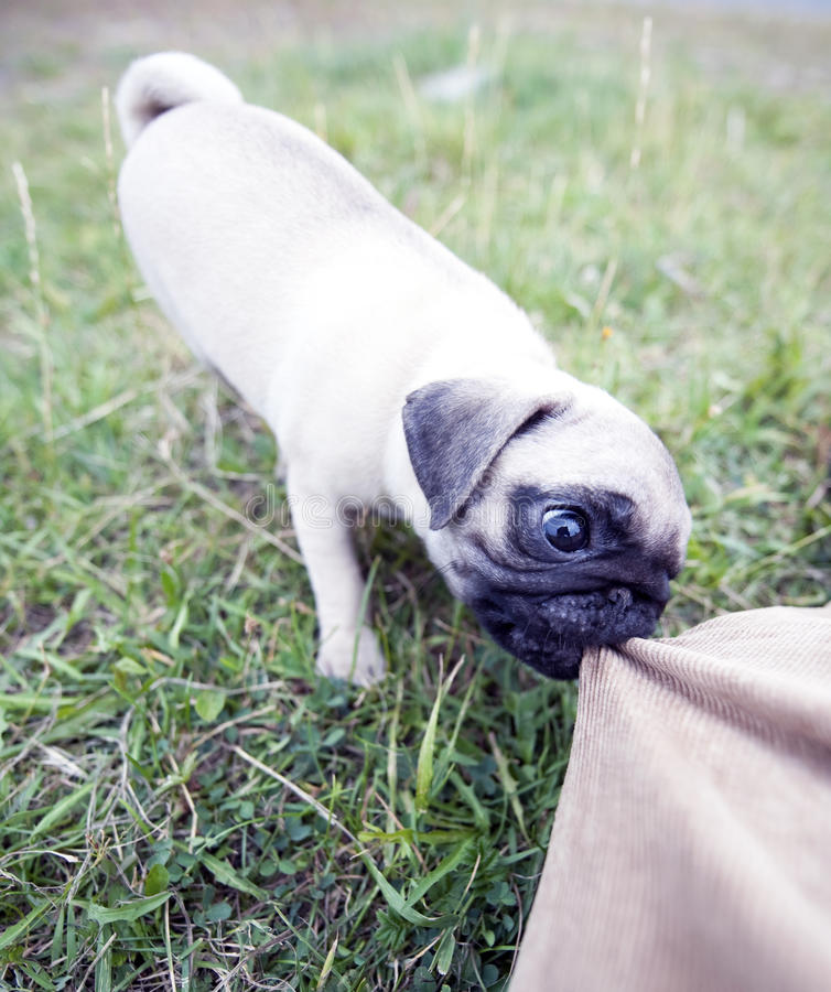 Aggressive puppy. Shot of a mops puppy bites my pants royalty free stock photo