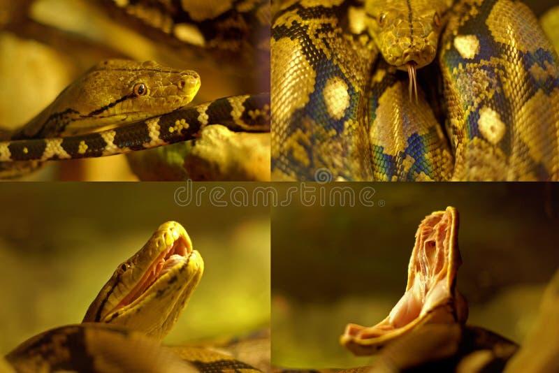 Aggressive python kind of snake stock photo