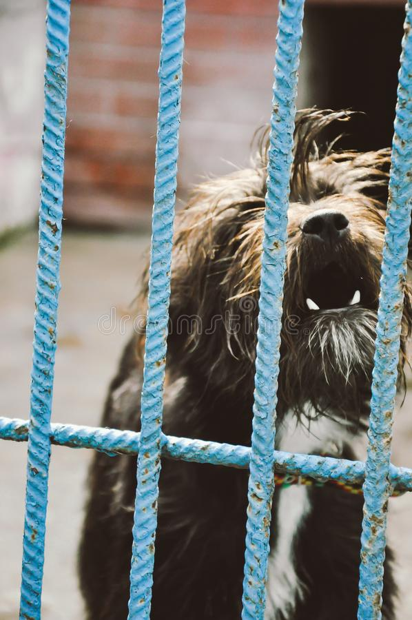 Aggressive dog showing teeth in shelter. Aggressive small dog barkind showing teeth behing cage bars in animal shelter royalty free stock image