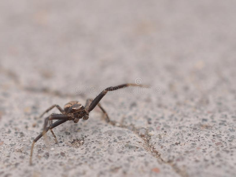 Aggressive spider. A spider charges the camera stock photography