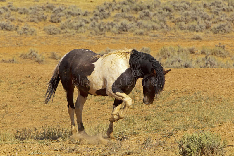 Aggressive Stud. Black and white stallion is kicking the ground to create dust and show dominance royalty free stock photo