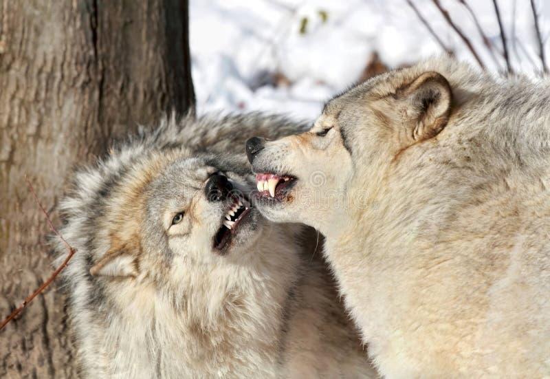 Aggressive Wölfe stockfotografie