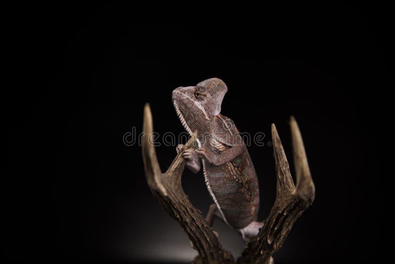 Aggressive yemen chameleon stock photo