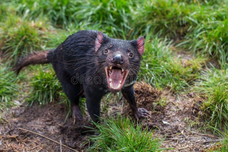 Aggressives tasmanischer Teufel Sarcophilus harrisii mit den offenen darstellenden Zähnen und der Zunge des Munds stockbild