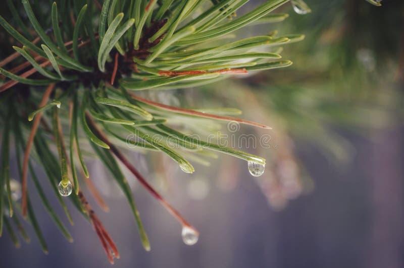 Aghi bagnati del pino fotografia stock