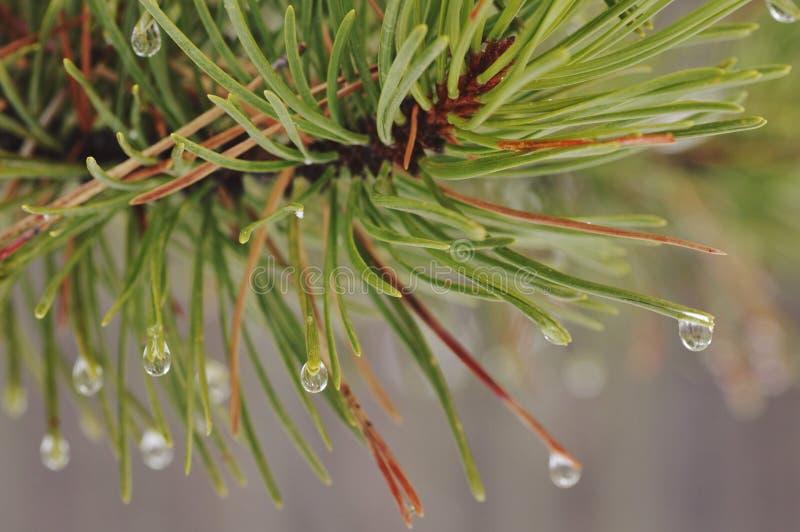Aghi bagnati del pino fotografie stock