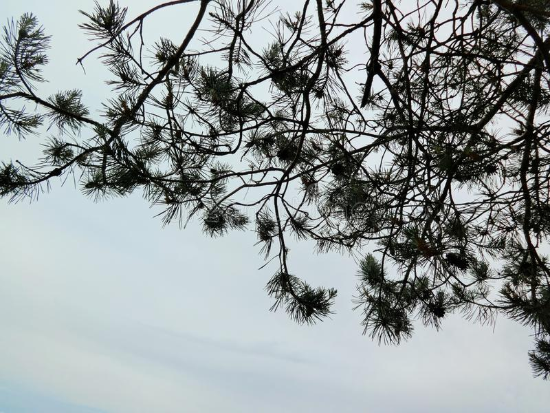 Aghi del pino nero sul bianco fotografia stock libera da diritti