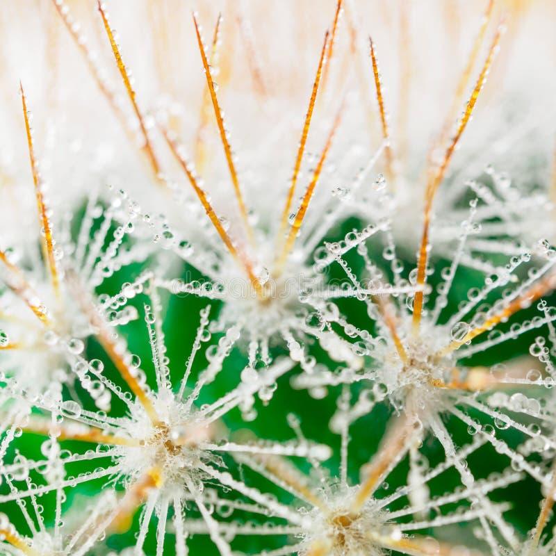 Aghi lunghi del succulente, delle gocce di acqua o della rugiada sulle spine dorsali della c fotografia stock