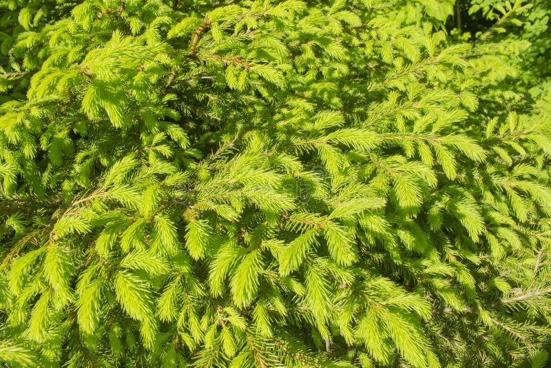 Aghi verde intenso di giovane abete rosso, primo piano di struttura del fondo Albero di abete conifero sempreverde perenne del ce immagini stock libere da diritti