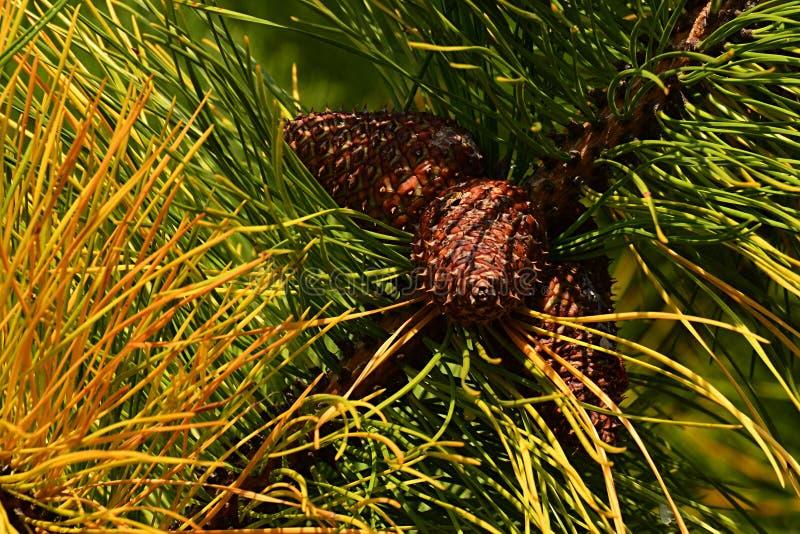 Aghi verdi e gialli di autunno e coni maturi della famiglia del pinus del pino fotografie stock