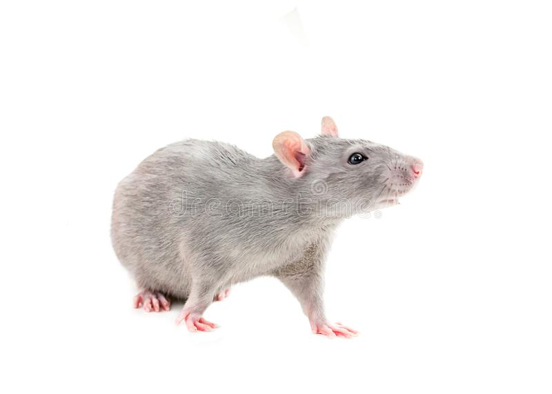 Agile espiègle de jeunes rats gris jeune sur le blanc a isolé le beau passe-temps de fond pour des enfants responsables d'un anim images stock