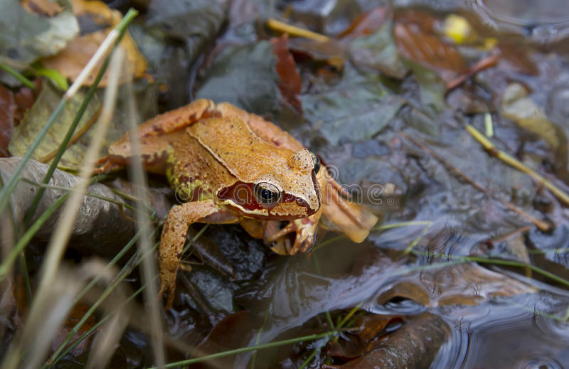 The agile frog. Is a species of amphibian anuran family Ranidae stock photos