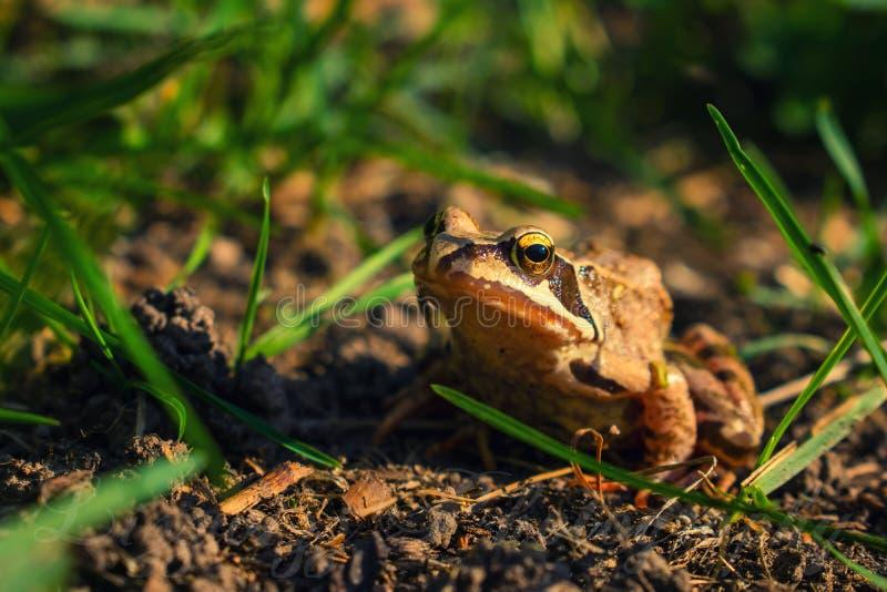 Agile frog on brown ground. Rana dalmatina aka agile frog on brown ground, frontal view royalty free stock photos