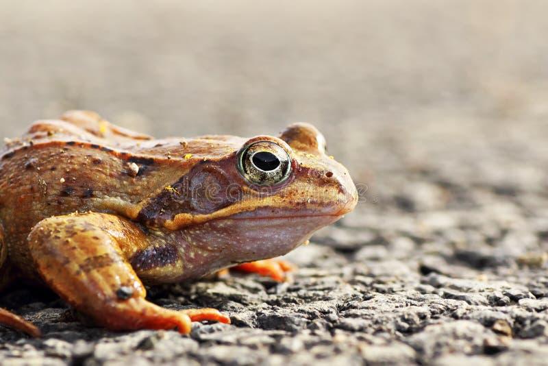 Agile frog close up. Rana dalmatina , image taken in spring royalty free stock photos