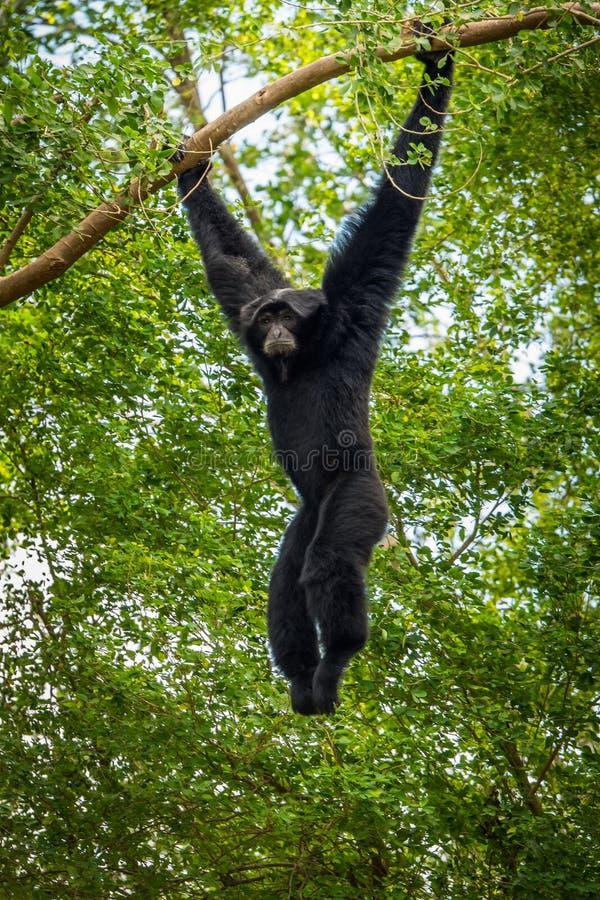 Dark handed gibbon royalty free stock photos