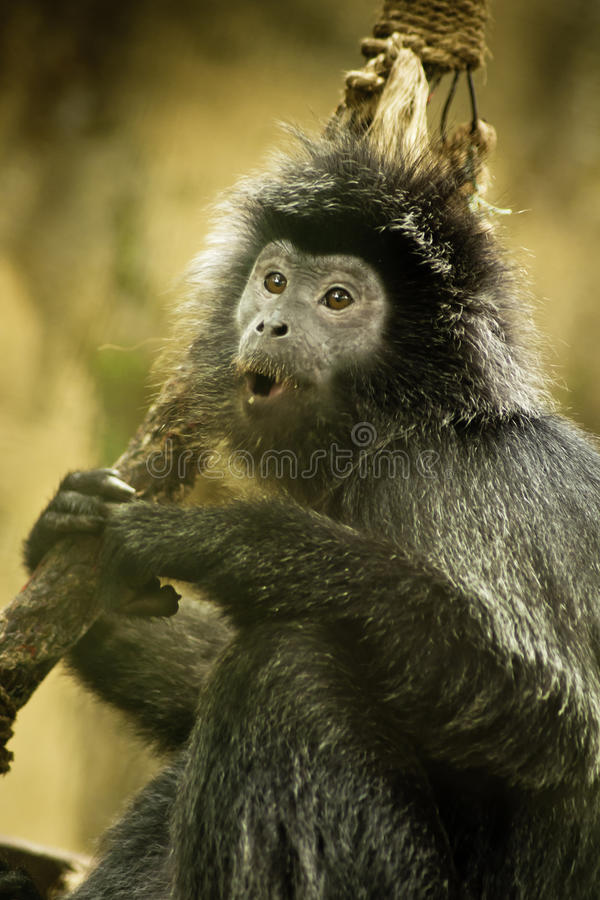 Agile Gibbon. Pictures of wild agile gibbon royalty free stock photography
