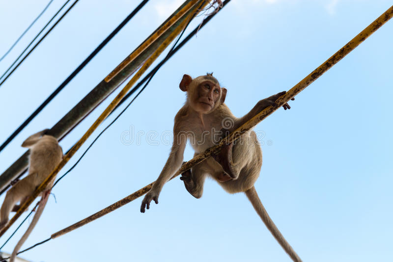 Agile monkeys hanging onto electric cables royalty free stock photos