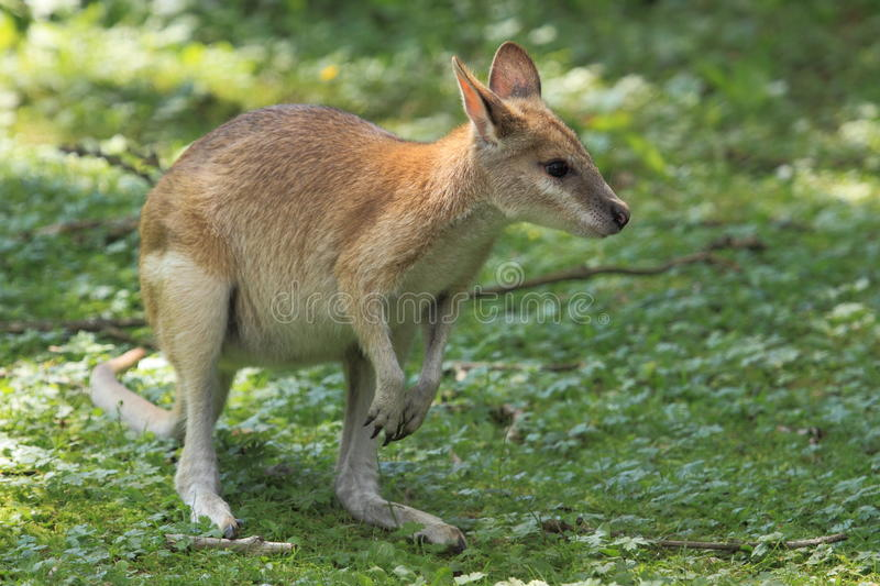 Agile wallaby. The agile wallaby in the grass royalty free stock photo