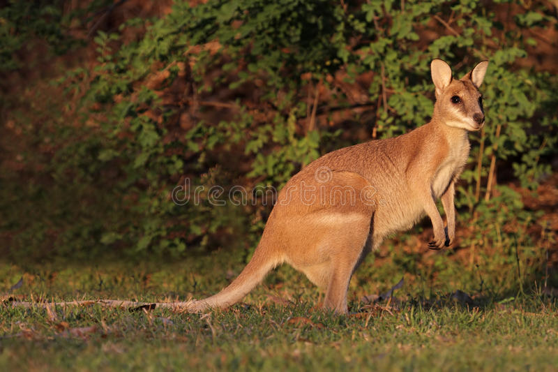 Download Agile Wallaby stock image. Image of looking, nature, cute - 34883069
