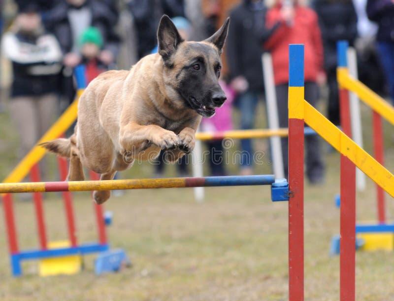 Agilidad - competencia de la habilidad del perro fotos de archivo