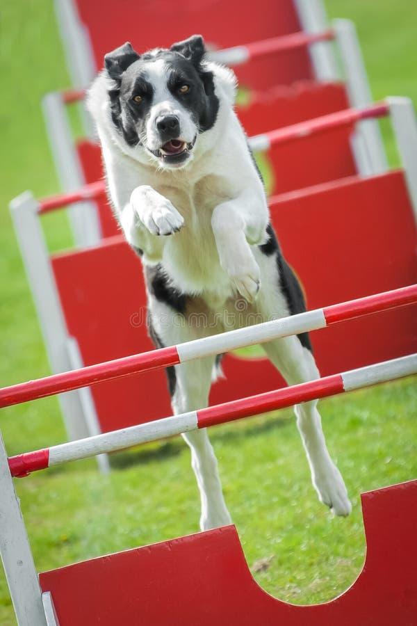 Agilidade do cão foto de stock royalty free