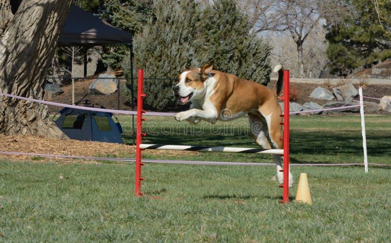 Agilidade do cão de NADAC: o salto do cão imagem de stock