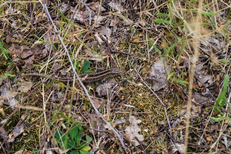 Agilis del Lacerta del lagarto imágenes de archivo libres de regalías