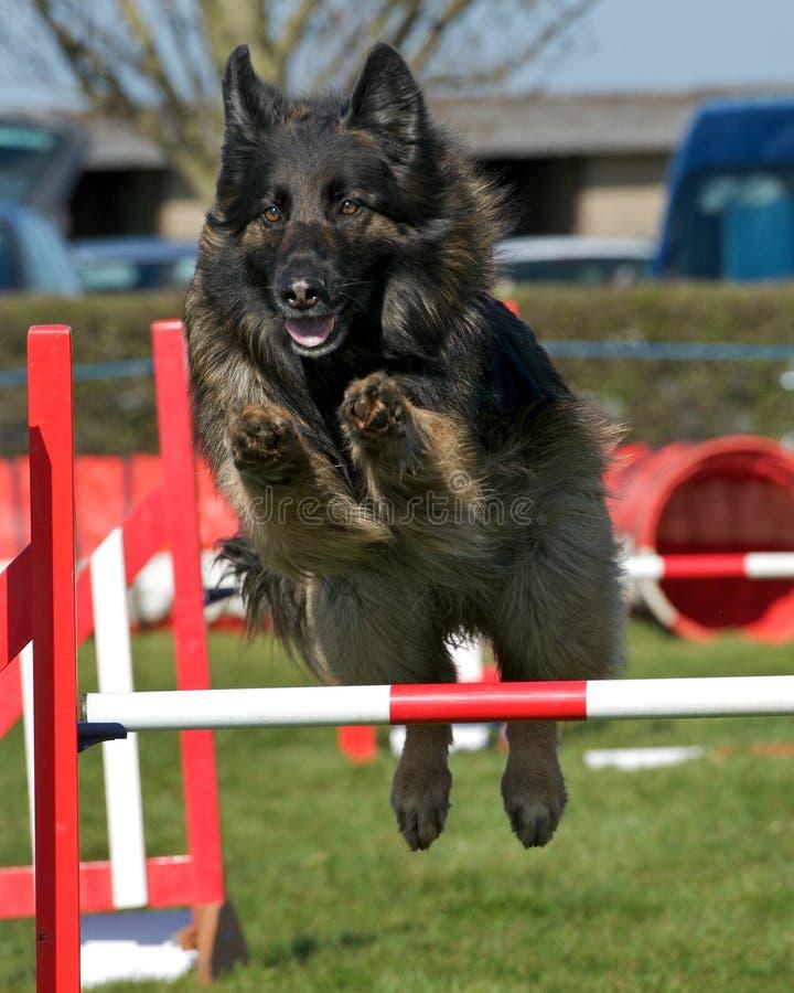 Agilité de chien photographie stock