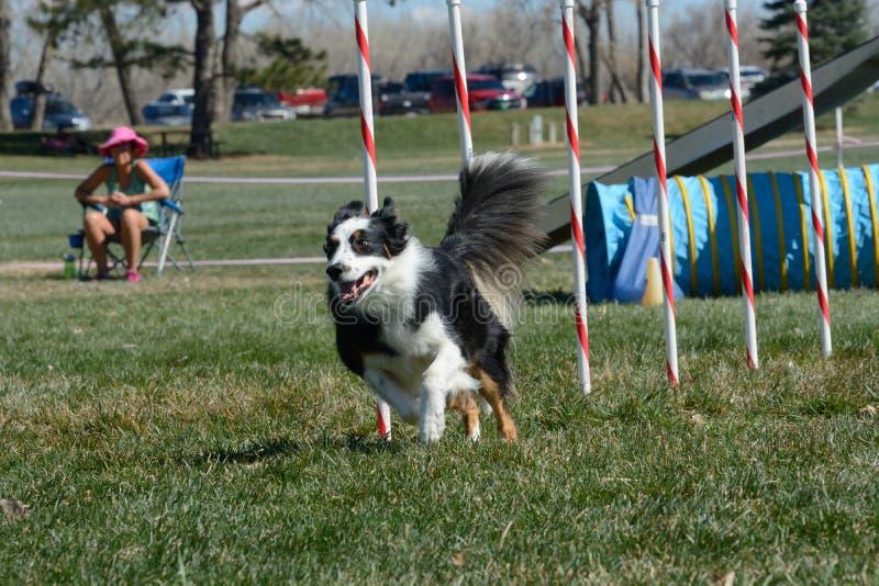Agilité de chien de NADAC : poteaux d'armure photo stock
