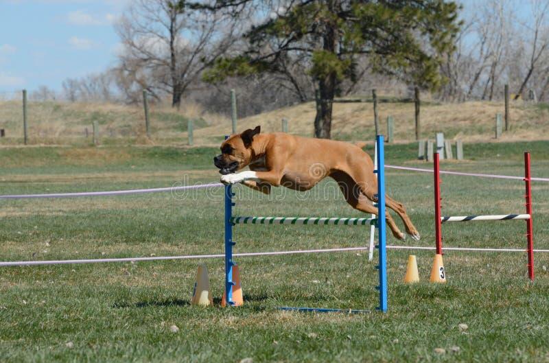 Agilité de chien de NADAC : poteaux d'armure photos libres de droits