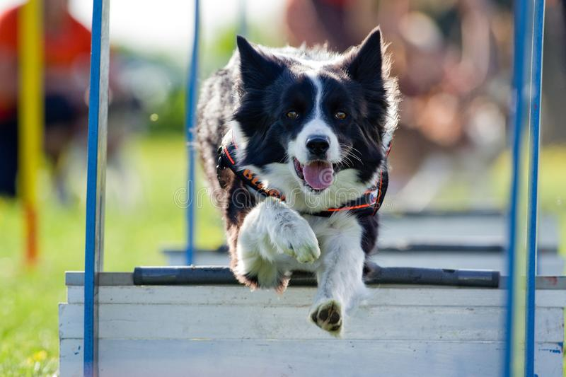 Download Agility stock photo. Image of breed, course, sport, race - 23034274