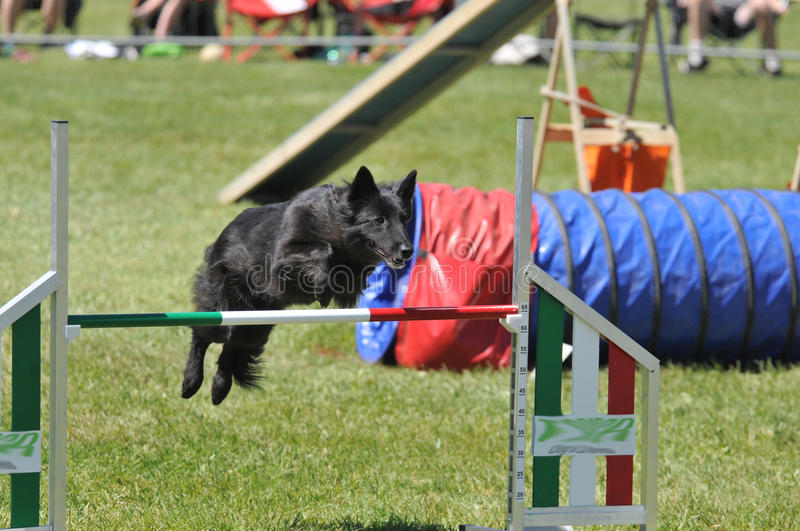 Download Agility stock photo. Image of doggy, conformation, hoop - 25044654