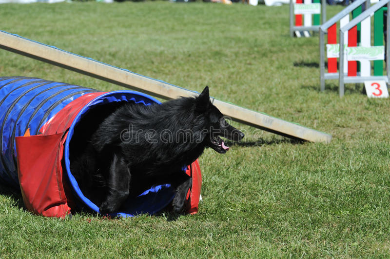Download Agility stock image. Image of breed, grass, jumping, attentive - 25123091