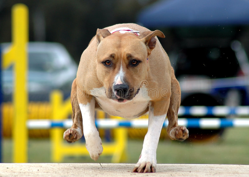 Download Agility Amstaff stock image. Image of power, bull, canine - 8500433