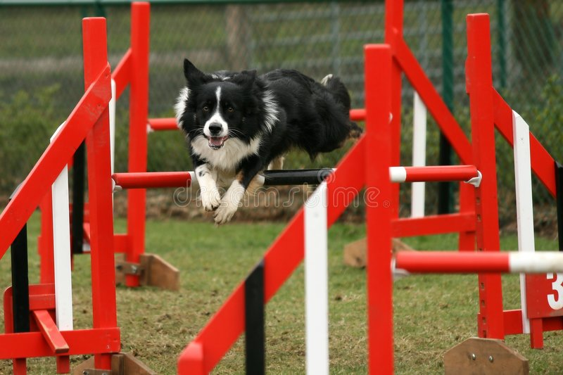 Download Agility competition stock image. Image of victory, active - 4761631