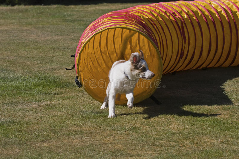Download Agility tunnel stock image. Image of pedigreed, purebreed - 19645287