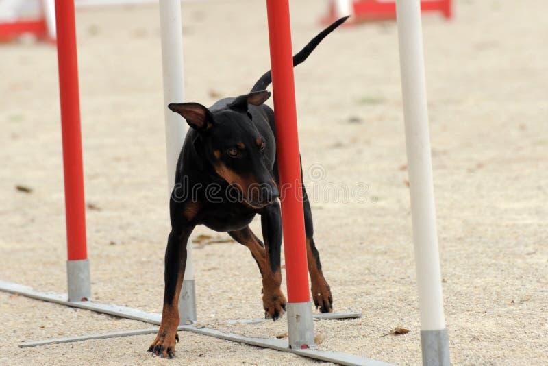 agilitymanchester terrier royaltyfria foton