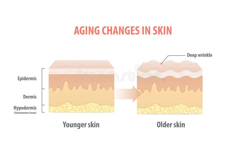 Aging changes in skin illustration vector on white background. B stock illustration