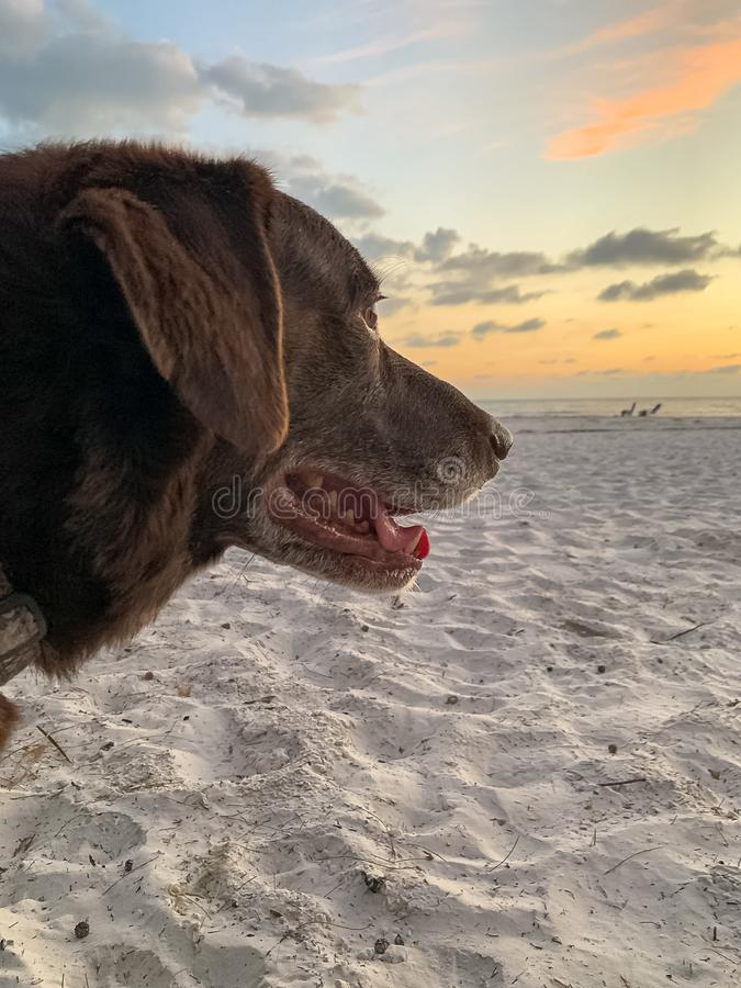 Aging Chocolate Labrador Retriever on the beach watching the sunset. With chairs in background stock images