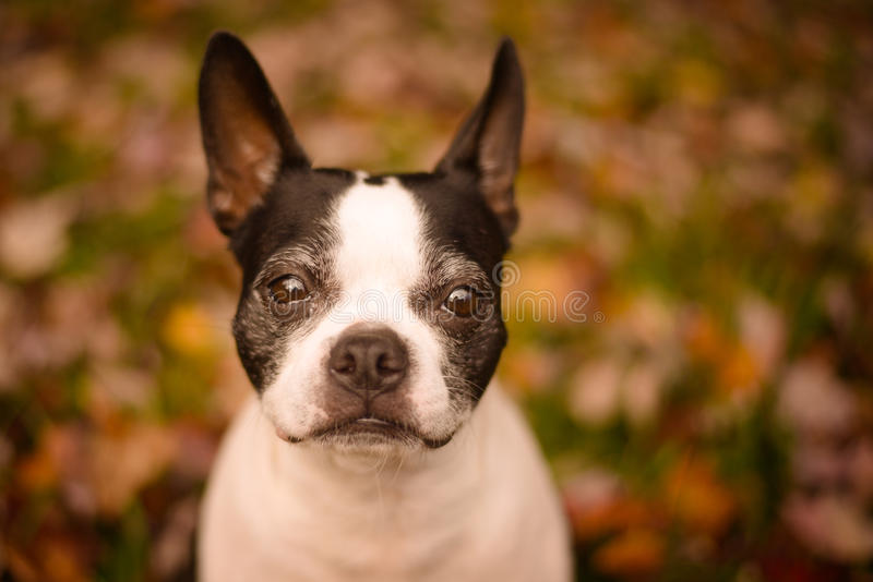 Aging Puppy Face stock photography
