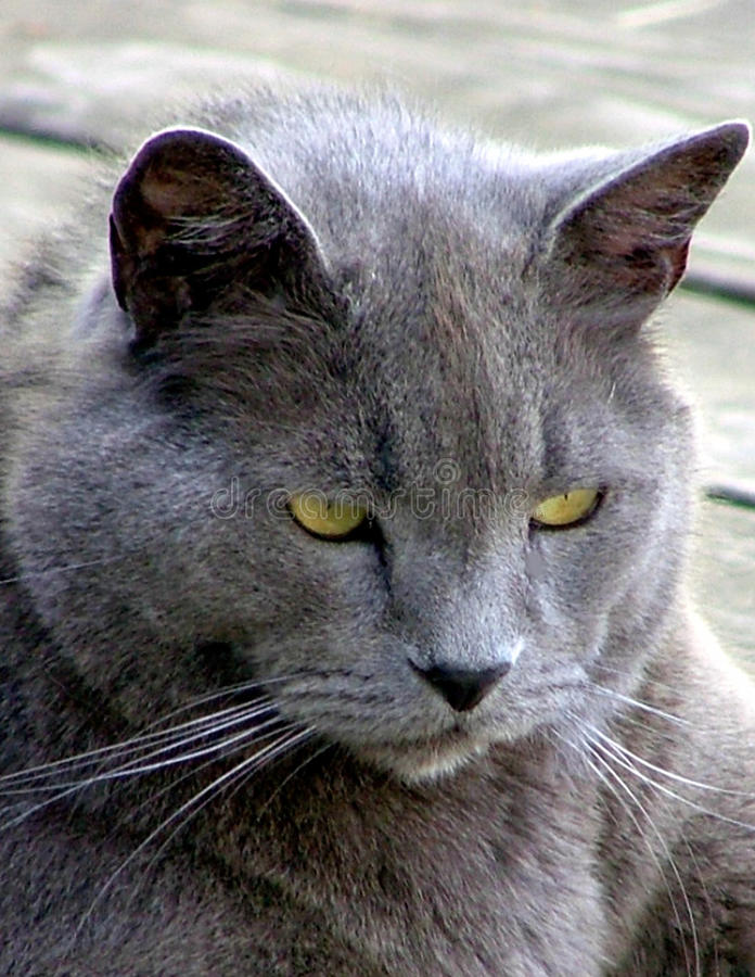 An Aging Russian Blue Cat royalty free stock photos