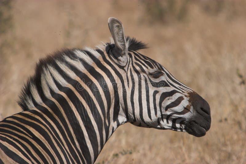 Agitação da zebra imagens de stock