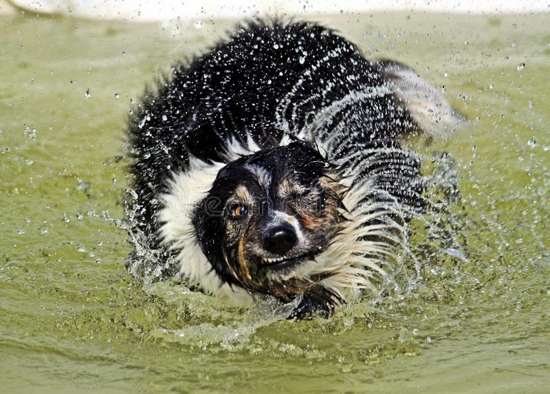 Agitando border collie imagem de stock