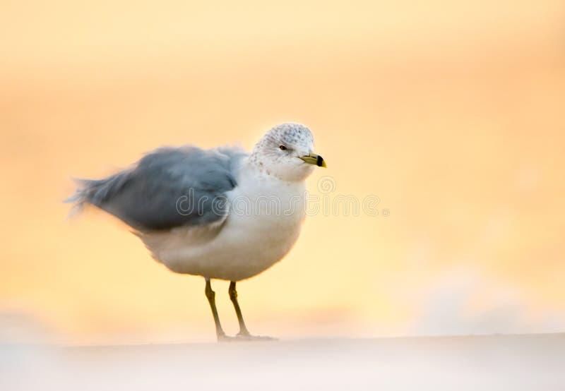 Agitando a gaivota imagem de stock