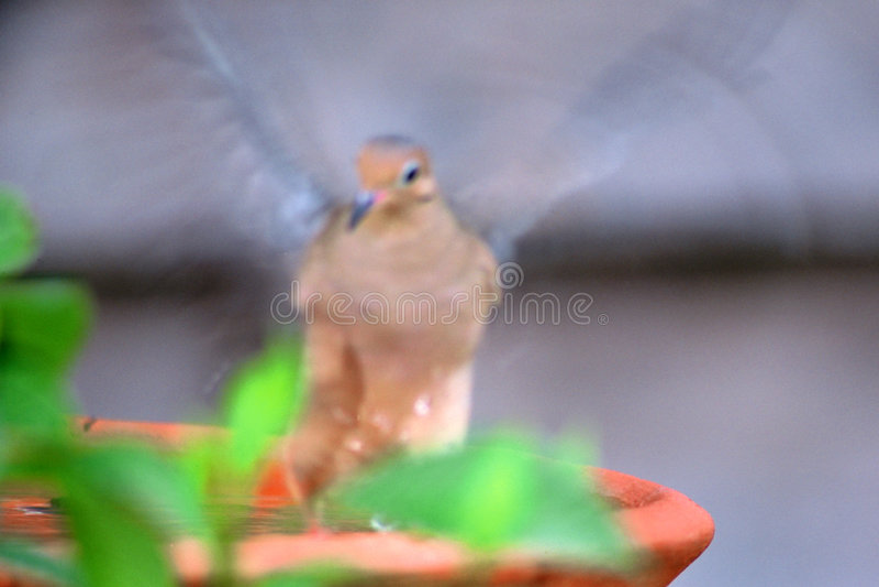 Agitandosi Al Bagno Dell Uccello Fotografie Stock