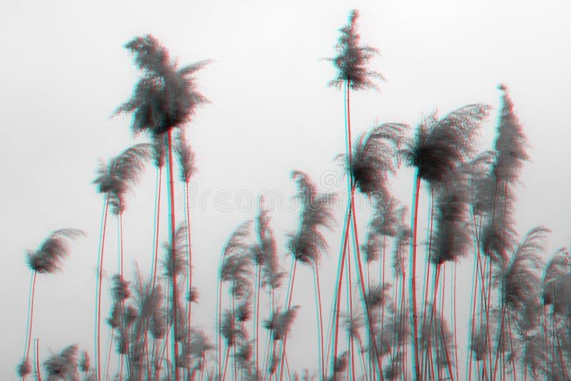 Agitar las semillas de cañas en el efecto de la interferencia Reed por el río en el fondo del cielo azul