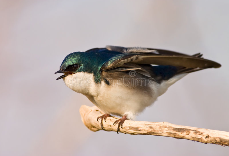 Download Agitated Tree Swallow stock photo. Image of green, swallow - 5299546