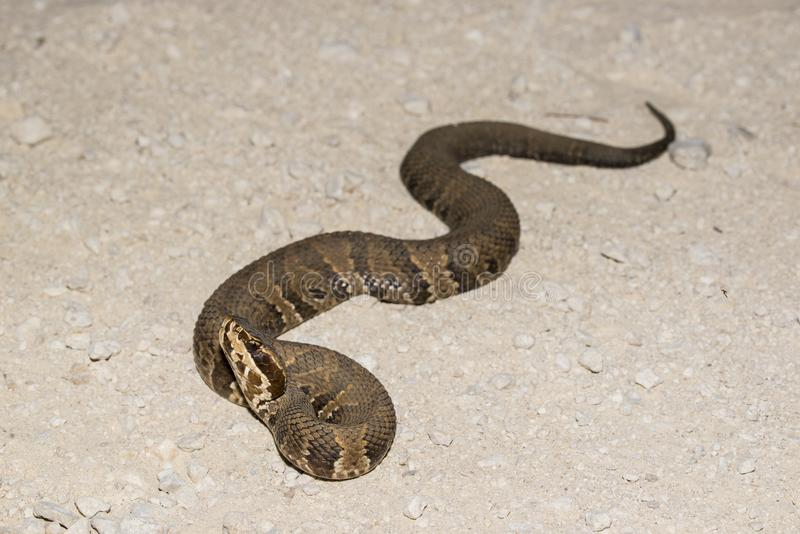 Cottonmouth stock images